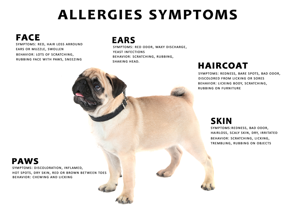 Pug Allergies Symptoms